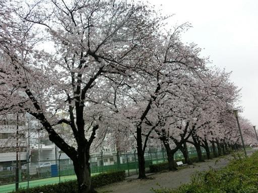 天満の桜7