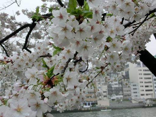 天満の桜9