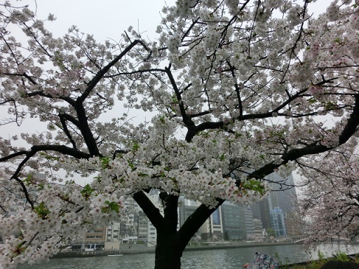天満の桜10