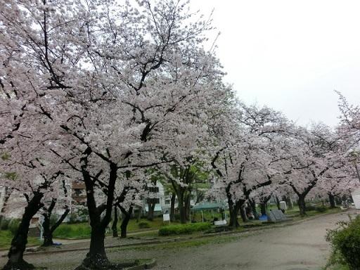 天満の桜11