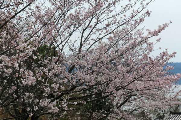 20170410_sakura.jpg