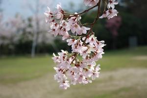 屋島の桜3