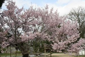 屋島の桜4