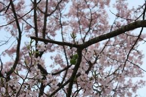 屋島の桜5