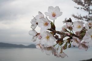 屋島の桜9
