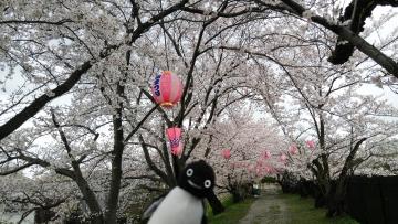 20170409-大阪の桜 (2)