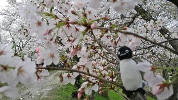 20170409-大阪の桜 (3)