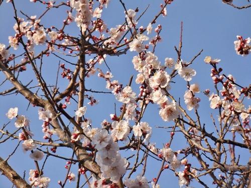 170305plum_ blossom2
