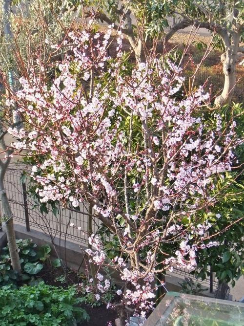 170305plum_ blossom