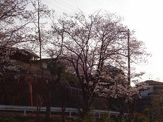 泉南市新家の桜02