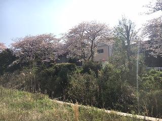 泉南市新家の桜04