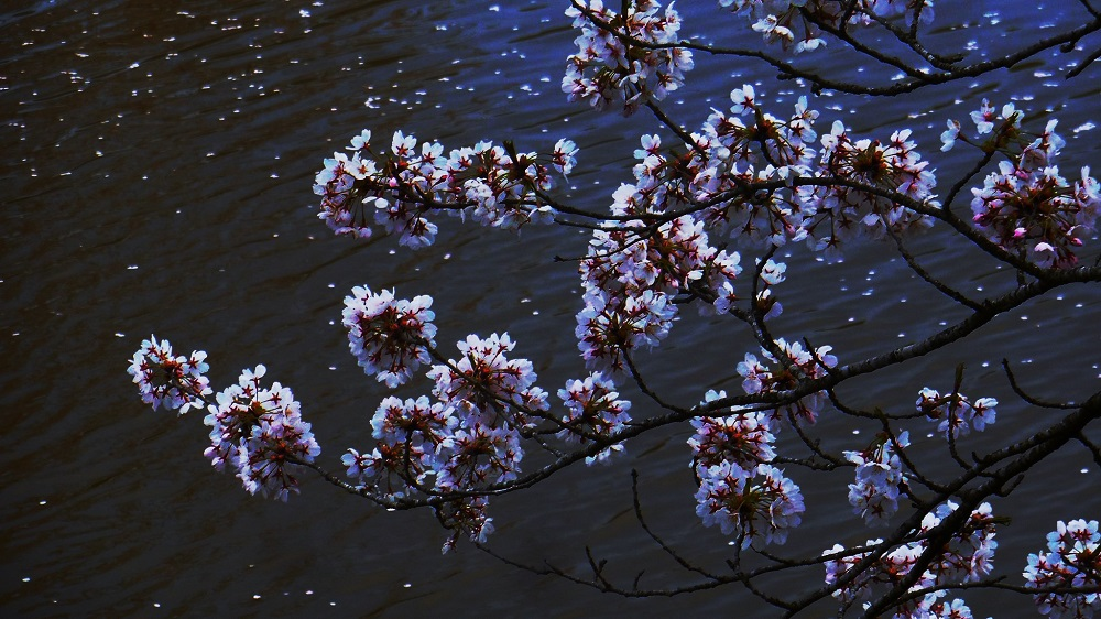 海と桜-1000