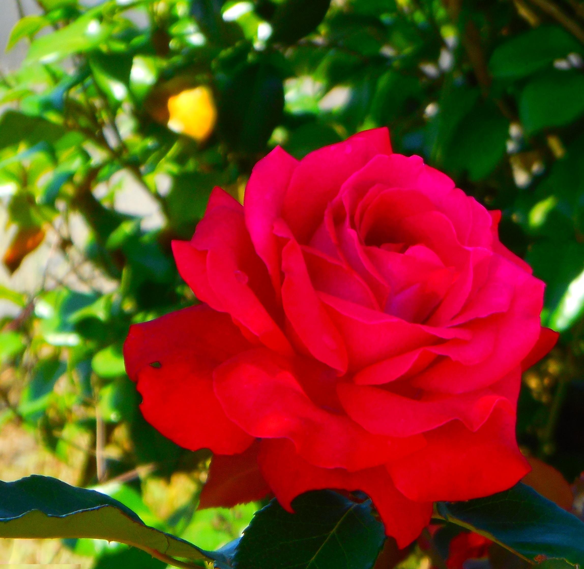 DSCN8942-緋薔薇