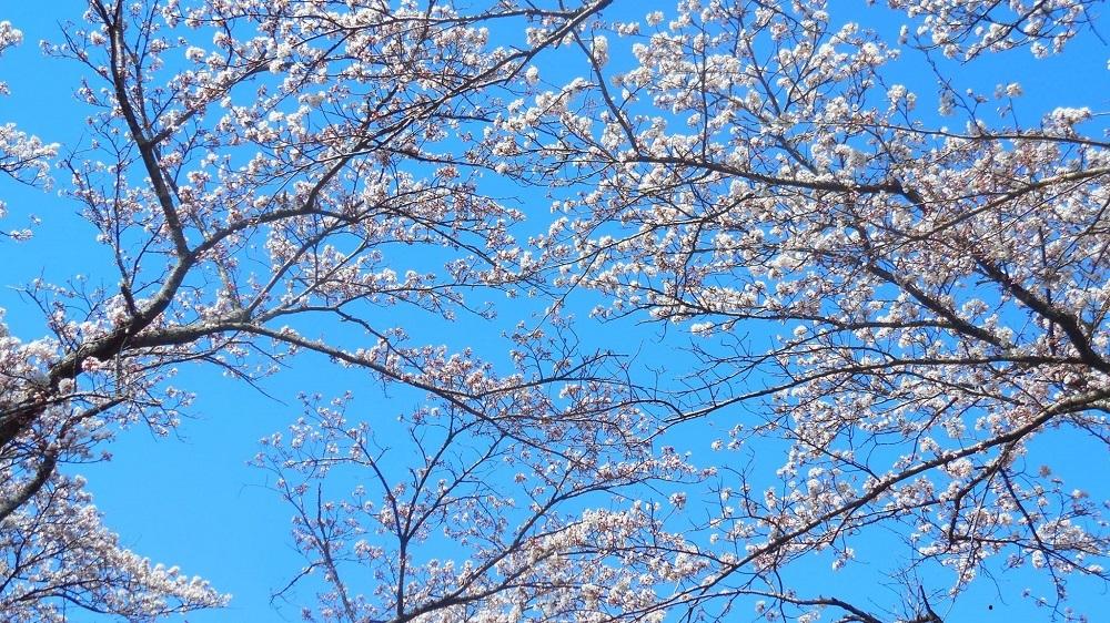 桜の天蓋-1