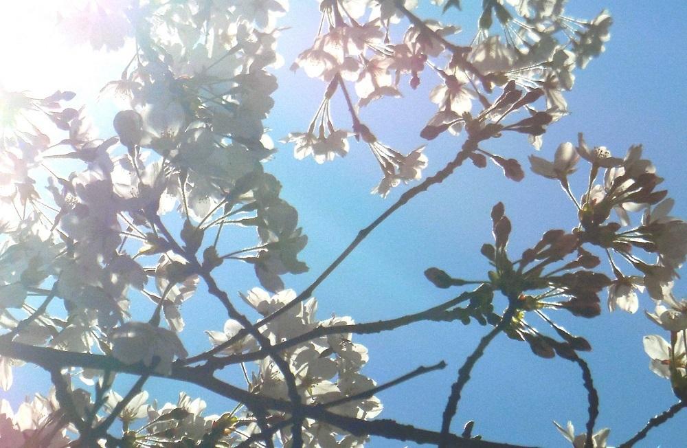 桜の天蓋-2