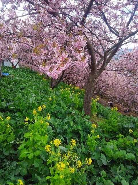 290213桜1