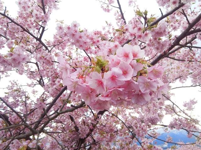 290213桜2