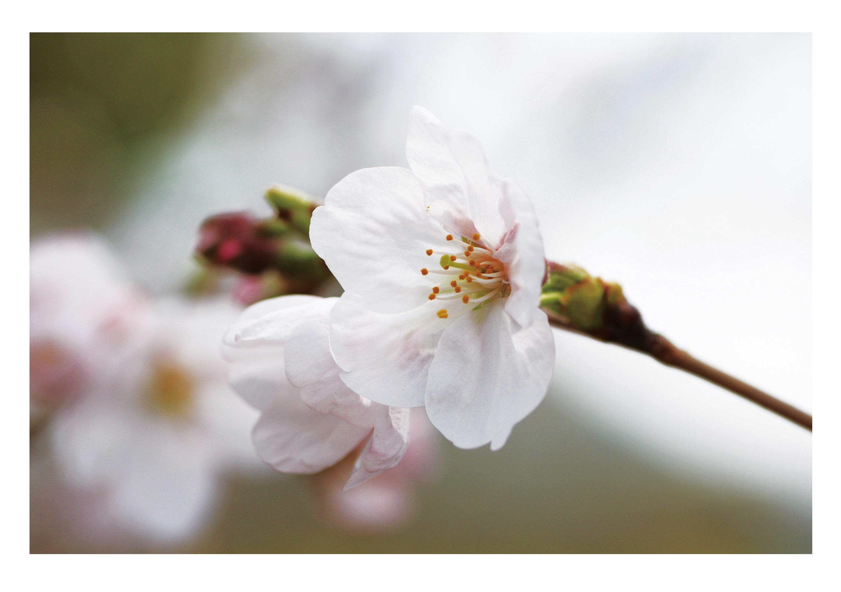 桜ブログ用2