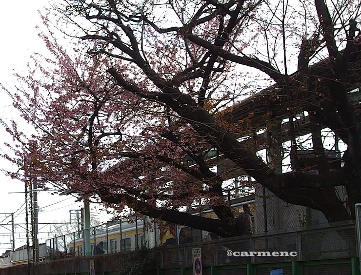 谷保駅の寒桜