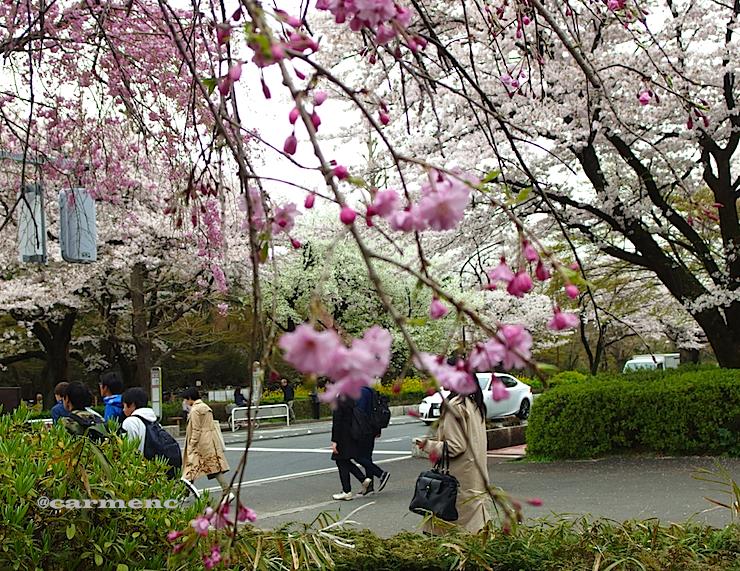 枝垂れ桜横断舗道