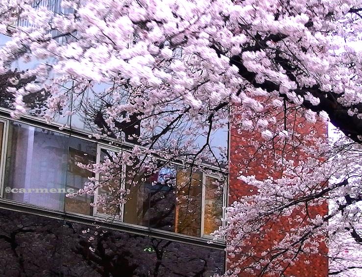 桜煉瓦映り込み