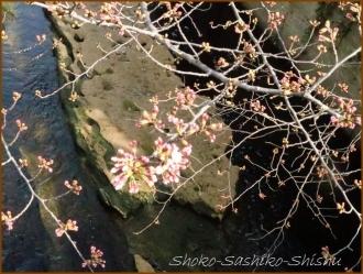 20170327  花の様子  2   桜は