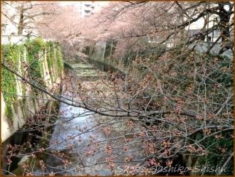 20170327  花の様子  5   桜は