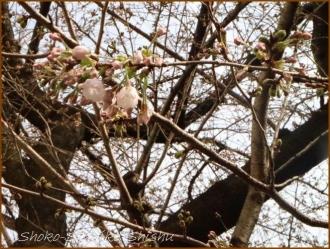 20170327  花の様子  4   桜は