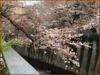 20170327  花の様子  7   桜は