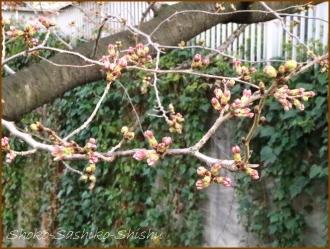 20170327  花の様子  11   桜は