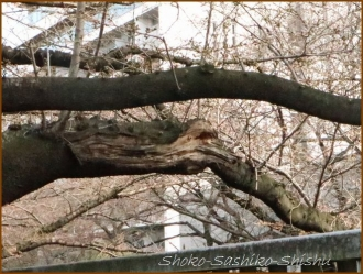 20170327  折れ枝  2   桜は