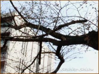 20170327  折れ枝  3   桜は