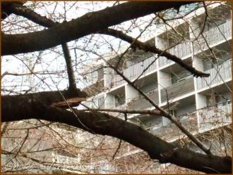 20170327  折れ枝  4   桜は