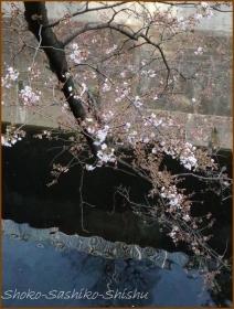 20170327  川面に  1   桜は