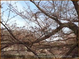 20170327  花の様子  12   桜は
