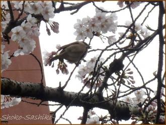 20170402  神田川  3   お花見
