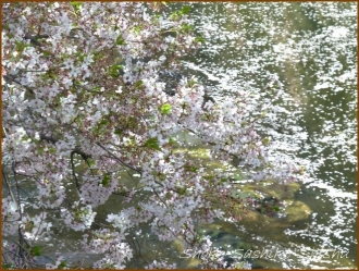 20170415  川の上  2   散りゆく桜