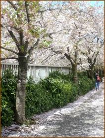 20170415  川の上  3   散りゆく桜