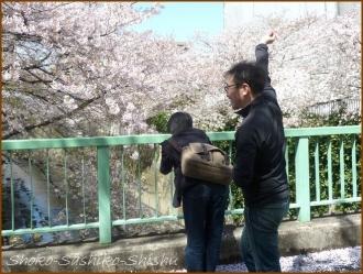 20170415  川の上  4   散りゆく桜