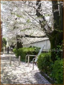 20170415  川の上  5   散りゆく桜