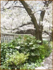 20170415  川の上  6   散りゆく桜