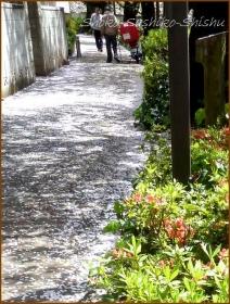 20170415  川の上  7   散りゆく桜