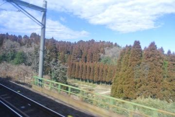 杉が真っ赤です