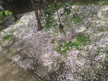 上も下も桜色