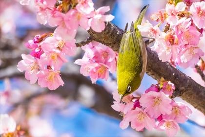 2017-3-17 いせさき市民の森公園 河津桜01 (1 - 1DSC_0039)_R