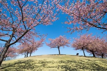 2017-3-17 いせさき市民の森公園 河津桜02 (1 - 1DSC_0053)_R