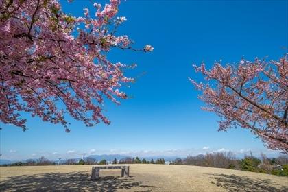 2017-3-17 いせさき市民の森公園 河津桜06 (1 - 1DSC_0054)_R