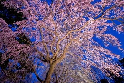 2017-4-10 敷島夜桜05 (1 - 1DSC_0453-HDR)_R