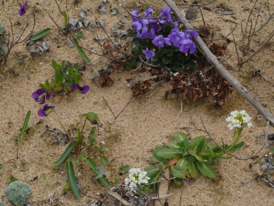 京都府日本海側の春の海浜の花御三家