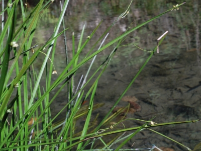 クローンを芽生したハタベカンガレイ